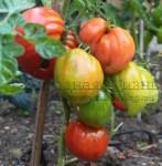Болгарские помидоры. Крупные томаты 'Бычье сердце' в открытом грунте