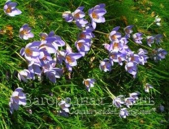 Крокус осенний (осеннецветущий, шафран прекрасный, Crocus speciosus)