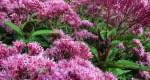 Посконник: фото, посадка, уход. Цветок евпаториум пурпурный
