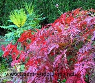 Клен японский красный и цветущая магония в моем саду, ноябрь