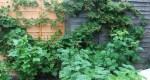Ежемалина садовая тайберри: фото, сорта, уход, отзыв