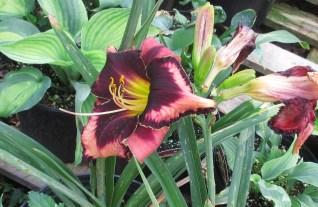 Bonibrae Daylilies 5
