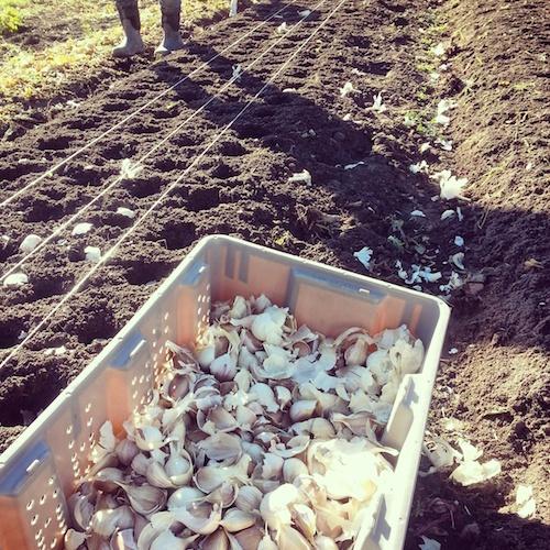 garlic planting 3 insta sm