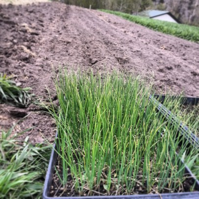 4.27.14 onion planting