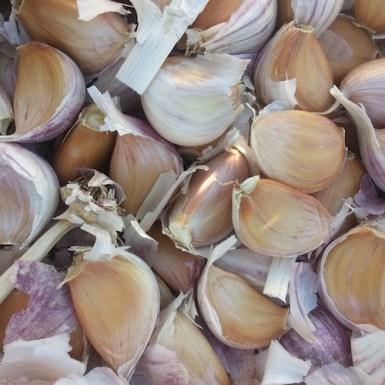 garlic russian red insta sm