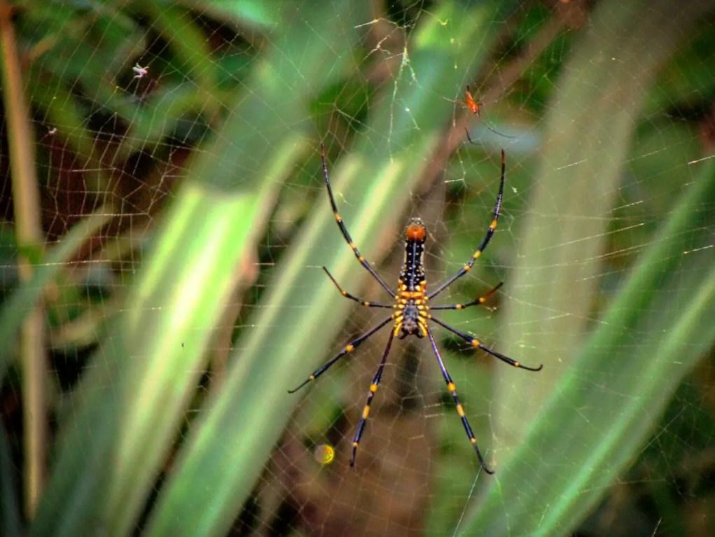 Common Spider of Konkan