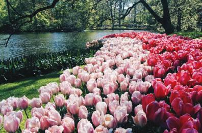Wow - stunning tulip fields | Keukenhof Tulip Blossom Holland