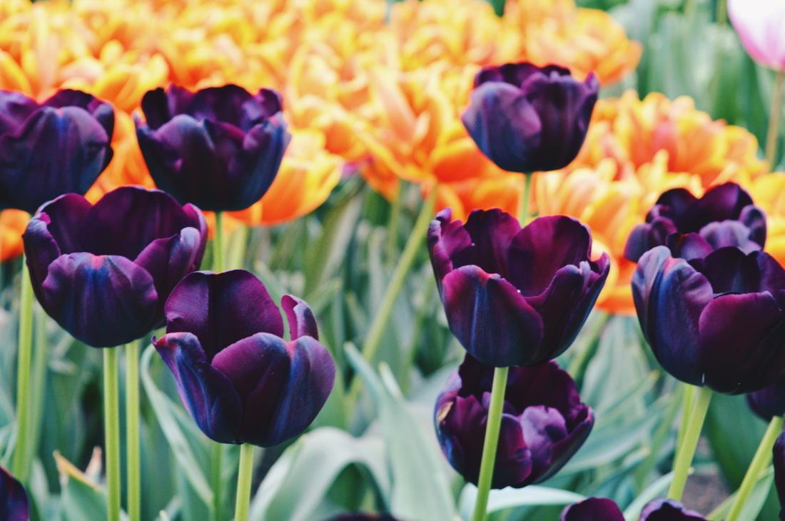 Tulips in dark purple and orange   Keukenhof Tulip Blossom Holland © Coupleofmen.com