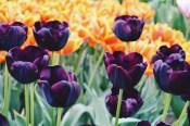 Tulips in dark purple and orange | Keukenhof Tulip Blossom Holland © Coupleofmen.com
