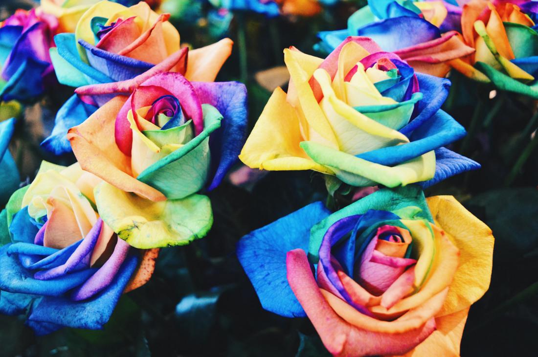 Rainbow Roses - How is that even possible?   Keukenhof Tulip Blossom Holland © Coupleofmen.com