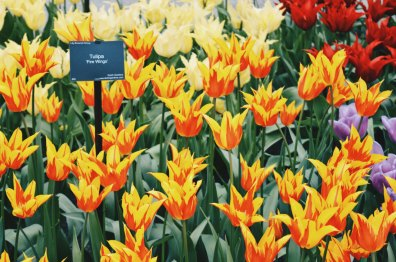 Red Yellow Fire Wings - Tulips in all possible color combinations | Keukenhof Tulip Blossom Holland © Coupleofmen.com