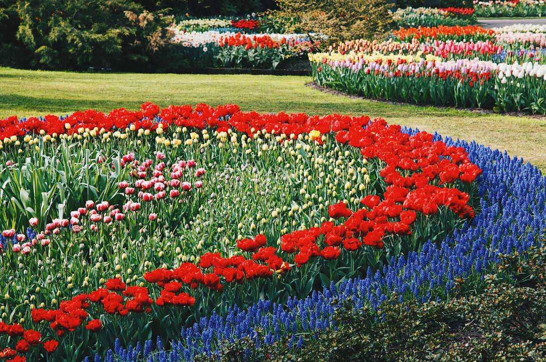 Blue, red, yellow, pink, white - Spring arrives in West Holland   Keukenhof Tulip Blossom Holland