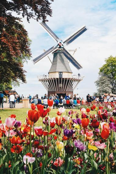 One of the main attractions is the windmill | Keukenhof Tulip Blossom Holland