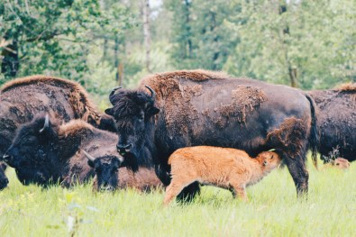 Just 100 meters from our car: baby Bisons nursed by his mother at Elk Island National Park | Road Trip Edmonton Northern Alberta © Coupleofmen.com