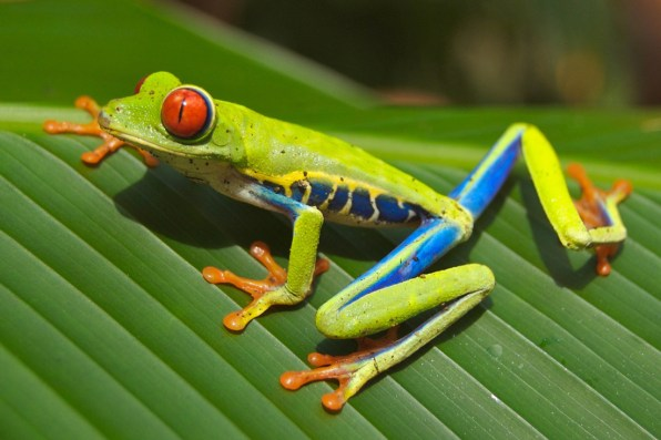 Red-eyed Tree Frog | Costa Rica Gay Travel Guide (Foto: Pixabay)