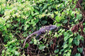 Gay Travel Journal Costa Rica A black Ctenosaur Iguana laying around to get some sun | Gay-friendly Costa Rica © Coupleofmen.com