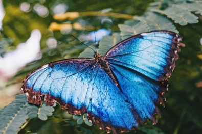 Gay Travel Journal Costa Rica One of the most famous animals of Costa Rica - the Blue Butterfly Menelaus Blue Morpho | Gay-friendly Costa Rica © Coupleofmen.com