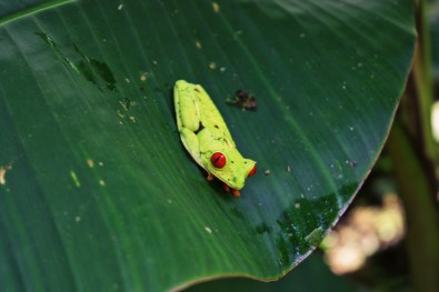 So happy we saw a Red-Eyed Leaf (Tree) Frog in free nature | Gay-friendly Costa Rica © Coupleofmen.com