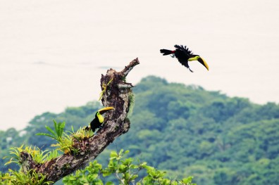 Gay Travel Journal Costa Rica Our favorite birds: Toucans, here the genius Ramphastos with their enormous, colourful, bills | Gay-friendly Costa Rica © Coupleofmen.com