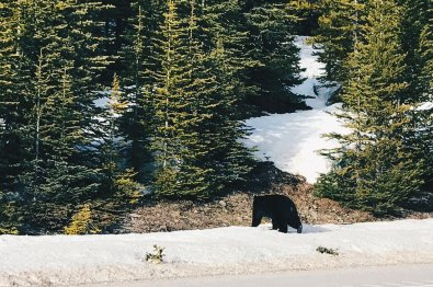 Snap of a Canadian Rocky Mountain Black Bear | Winter Road Trip Alberta Highlights Canadian Rocky Mountains © Coupleofmen.com