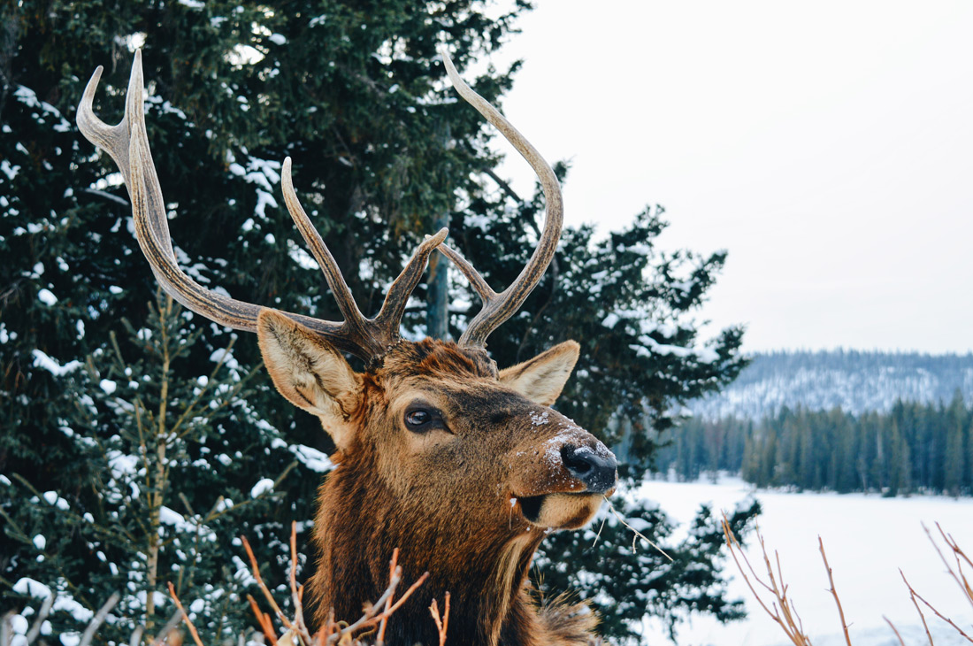 Close up of a Wapiti Bull with impressive antlers | Winter Road Trip Alberta Highlights Canadian Rocky Mountains © Coupleofmen.com