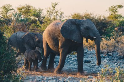 Good night everyone! After drinking at the waterhole, the Elephant family returns into the bushes protecting the little one at Etosha in Namibia © Coupleofmen.com