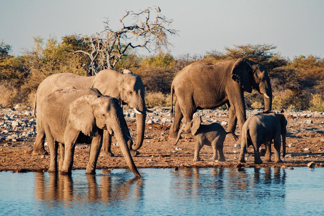 Elephant Family at the waterhole drinking by sunset at Etosha in Namibia © Coupleofmen.com