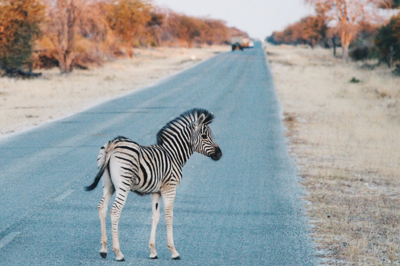 The cutest thing we met on our trip: A baby Zebra during sunrise going for breakfast with his mom at Etosha in Namibia © Coupleofmen.com