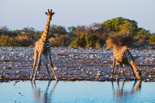 Two Giraffes drinking at a waterhole by sunset at Etosha in Namibia © Coupleofmen.com