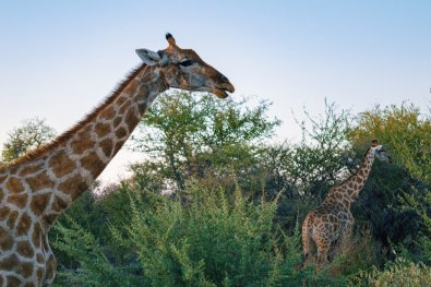 A group of Giraffes saying goodbye duringour first game drive while having dinner at Etosha in Namibia © Coupleofmen.com