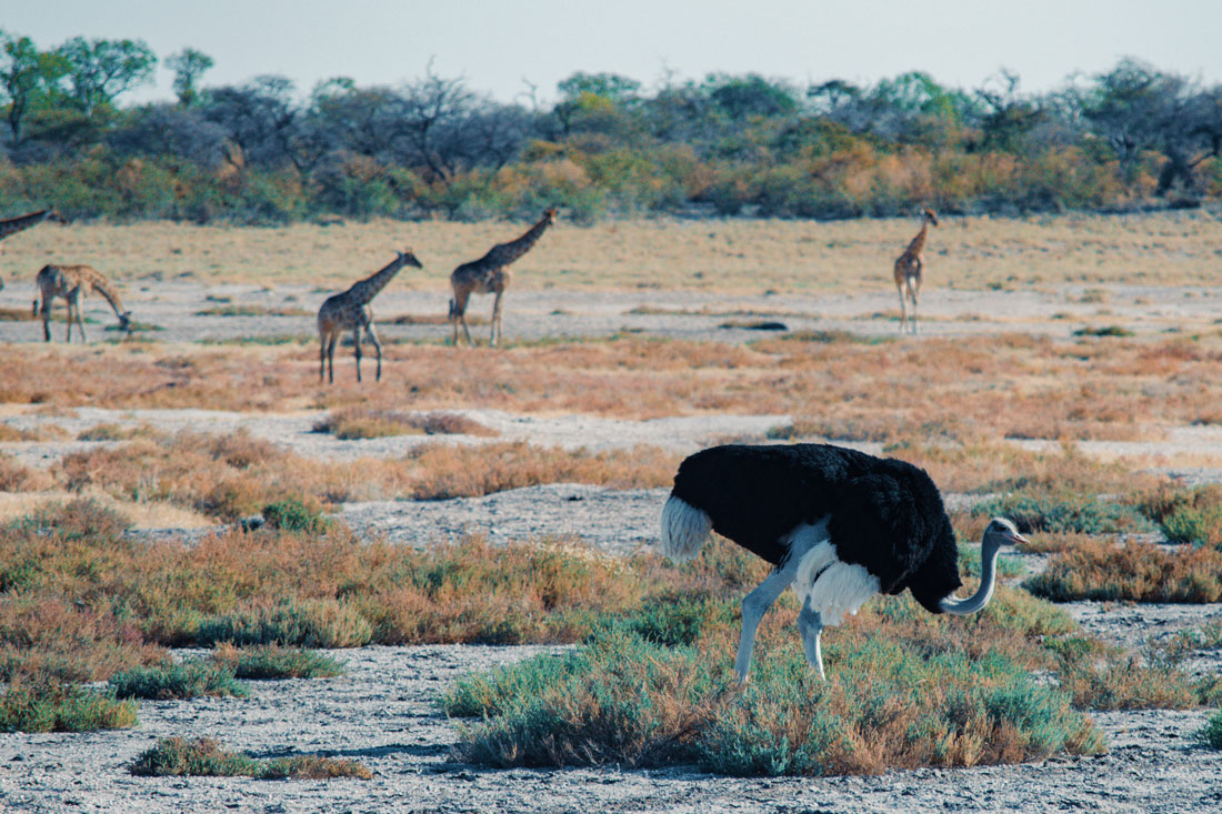 What a beautiful morning scenery with a male Ostrich in front of a Giraffe family at Etosha in Namibia © Coupleofmen.com