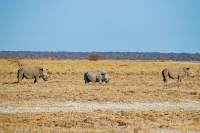 Highlight of Day 2: A White Rhinoceros Family having breakfast at Etosha in Namibia © Coupleofmen.com