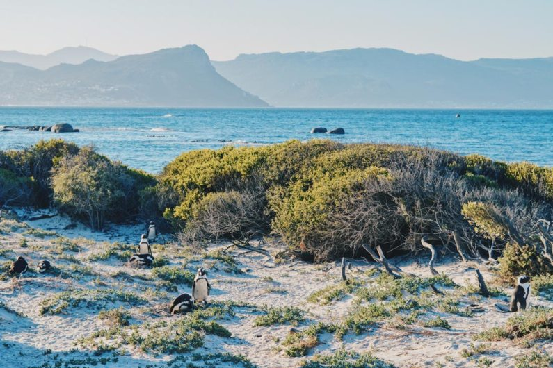 African Penguins on the Cape Peninsula with the Table Mountain Rainge in the back © Coupleofmen.com