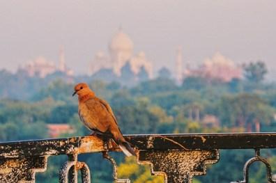 Bird sitting on the rooftop terrace in front of the Taj Mahal © Coupleofmen.com