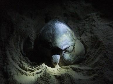 Green mother turtle busy laying 101 (!) eggs, Pulau Selingan, Malaysia
