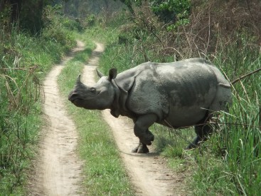 A rhino on the move, Chitwan National Park, Nepal