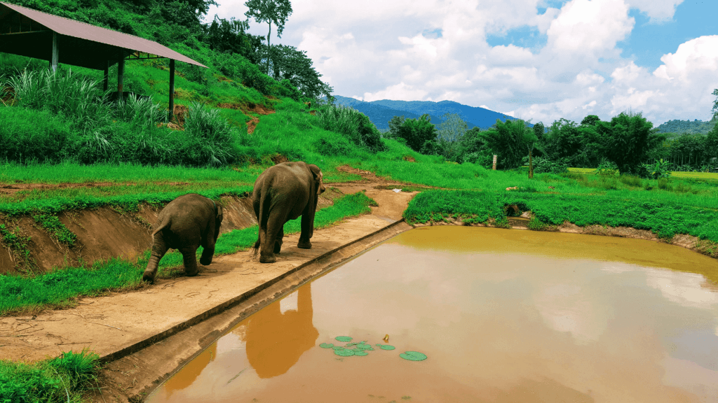 An-image-showing-a-mother-and-baby-elephant-at-Rantong-the-best-place-to-see-elephants-in-Chiang-Mai