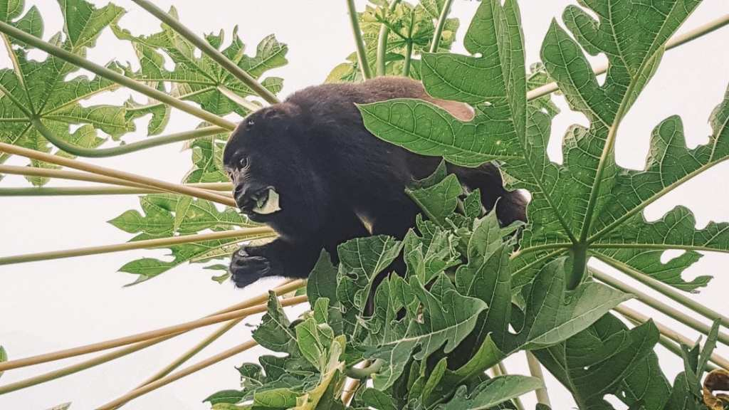 Charco-Verde; Charco-Verde-Ometepe; Charco-Verde-Nature-Reserve; Howler-monkey