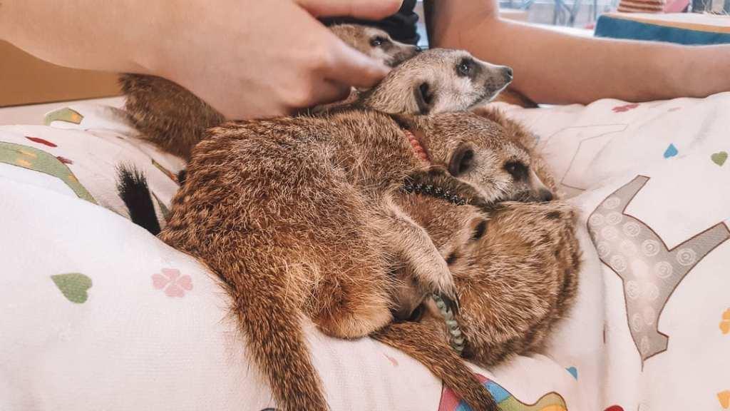 meerkats-seoul