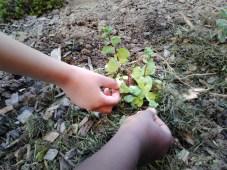 Atelier jardinage la menthe une odeur caractéristique
