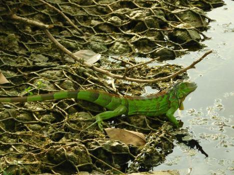Iguane près de Wayside Park - Coral Gables - Miami - Floride