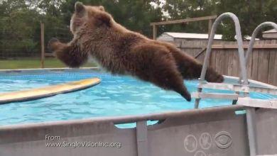 Photo of Un ours s'amuse à faire des plats dans une piscine de Floride