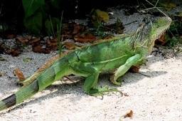Iguane Floride