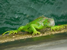 Iguane à Key West - Floride