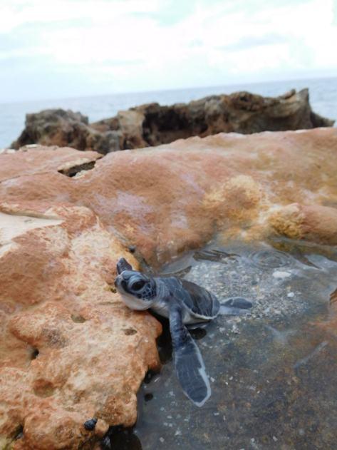 Tortue à Blowing Rocks à Hobe Sound (Jupiter)