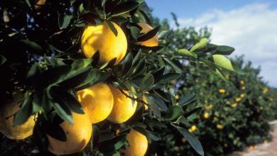 Photo of Tout sur les oranges, pamplemousses et agrumes de Floride