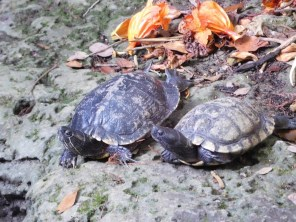 Tortues aux Pinecrest Tropical Garden - Miami - Floride