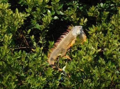 Iguane dans les jardins de la Villa Vizcaïa - Miami - Floride