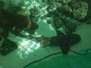 Requin à la Sandoway House - Nature Center - Delray Beach - Floride
