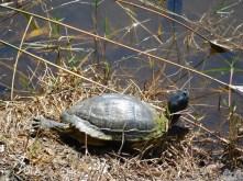 Tortues dans les Jardins Japonais Morikami à Delray Beach